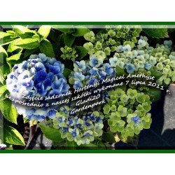 Hortensja Ogrodowa 'MAGICAL AMETHYST'
