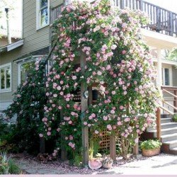 Róża pnąca różowa