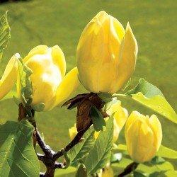 Magnolia brooklińska 'Yellow Bird' - sadzonka 120-140 cm