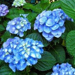 Hortensja ogrodowa NIKKO BLUE - 3 letnia