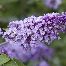 """Budleja """"Flutterby Lavender"""""""