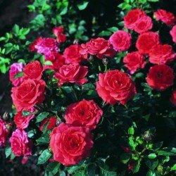 """Róża """"Miniature Orange"""""""