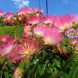 ALBICJA (jedwabne drzewko) - SADZONKA