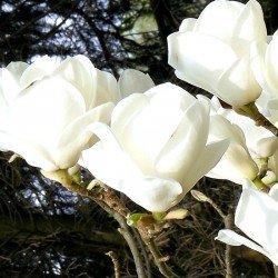 """Magnolia ,,Lennei Alba"""""""