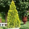 Żywotnik Zachodni (Thuja) Golden Smaragd