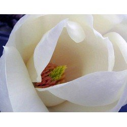 "Magnolia ""Alba Superba"""