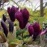 "Magnolia Liliflora ""Nigra"""