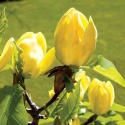 Magnolia brooklińska 'Yellow Bird' - sadzonka 60 - 80 cm