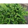 "Berberys ""Green Ornament"""
