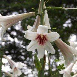 Lilia Himalajska biała Olbrzymia