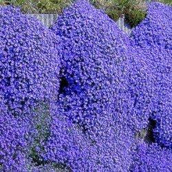 "Żagwin ogrodowy ""Mid Blue"""