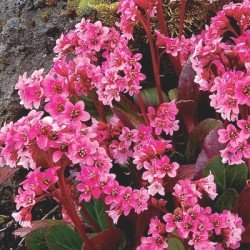 "Bergenia ""PINK DRAGON FLY"""