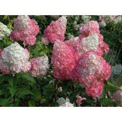 Hortensja bukietowa renhy vanille fraise