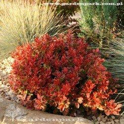 rośliny czerwone na sklaniak