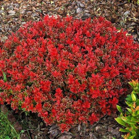 berberys czerwony sadzonka