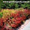 Berberys Thunberga RED CARPET - Intensywnie czerwone długie pędy