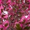 """Buk pospolity """"Purpurea Tricolor"""""""