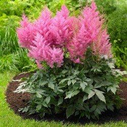 Tawułka Arendsa różowa