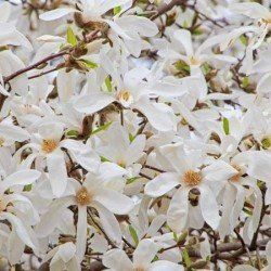 "Magnolia ,,Wada's Memory"""