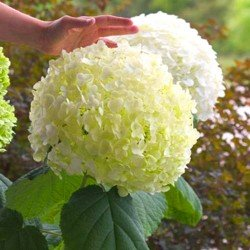 hortensja krzewiasta annabelle sadzonki