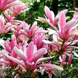 Magnolia ,,Betty""