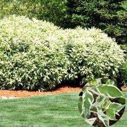 Dereń elegantissima sadzonki