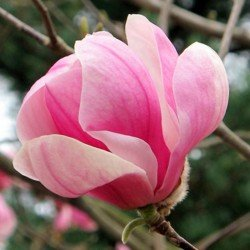 Magnolia Pinkie
