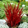 "Trawa Imperata ""Red Baron"""