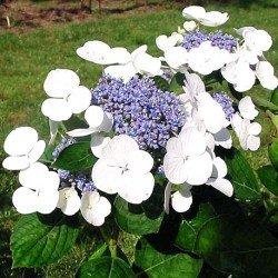 Hortensja ogrodowa 'LIBELLE'