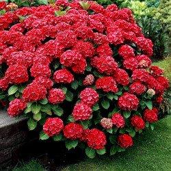 Hortensja ogrodowa 'RED BARON'