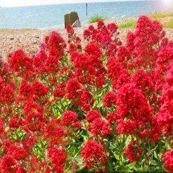 Ostrogowiec czerwony 'Coccineus'