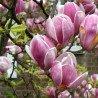 "Magnolia ,,Rustica Rubra"""