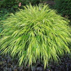 "Hakonechloa Macra ""Strip it Rich"""