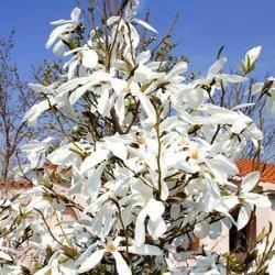 Magnolia sadzonka