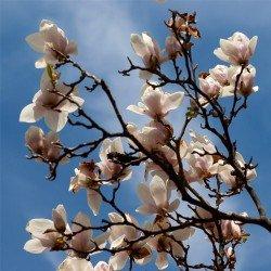 """Magnolia pośrednia """"Alba Superba"""""""