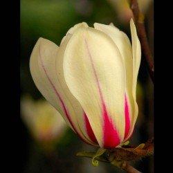"""Magnolia ,,Sunrise"""""""