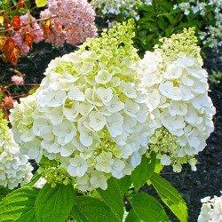 """Hortensja bukietowa """"Mont Blanc"""""""
