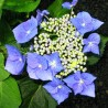 Hortensja ogrodowa 'BLAUMEISE'