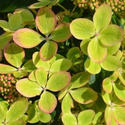 "Hortensja bukietowa ""Pastel Green"""