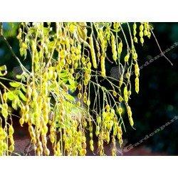 Perełkowiec Szupin  Japonica