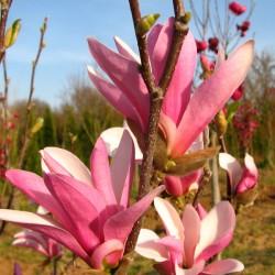Magnolia Pośrednia 'SUSAN'