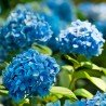 Hortensja ogrodowa niebieska  'NIKKO BLUE'  2-letnia