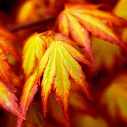 "Klon palmowy ""Orange Dream"""