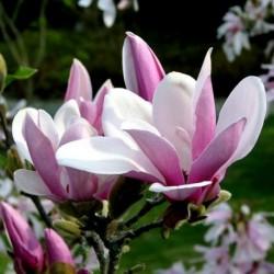 """Magnolia ,,George Henry Kern"""""""