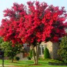 """Lagerstroemia Ind. """"Red Imperator"""""""