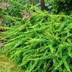berberys green carpet