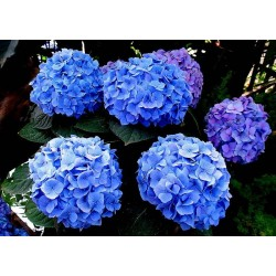 Hortensja ogrodowa  'Jip Blue'