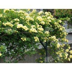 Róża Yellow Fairy