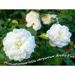 """Róża  """"Arctic Fire"""""""