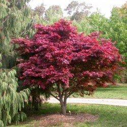 Klon Palmowy Purpurowy Atropurpureum Czerwony